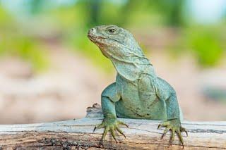 Iguana Island Providenciales